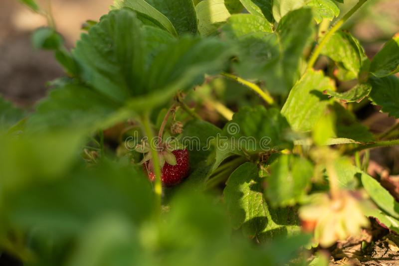 Strawberry bush in growth at garden. Sunset light. Ripe berries and foliage. Fruit production. Smart agriculture, farm, technology stock images