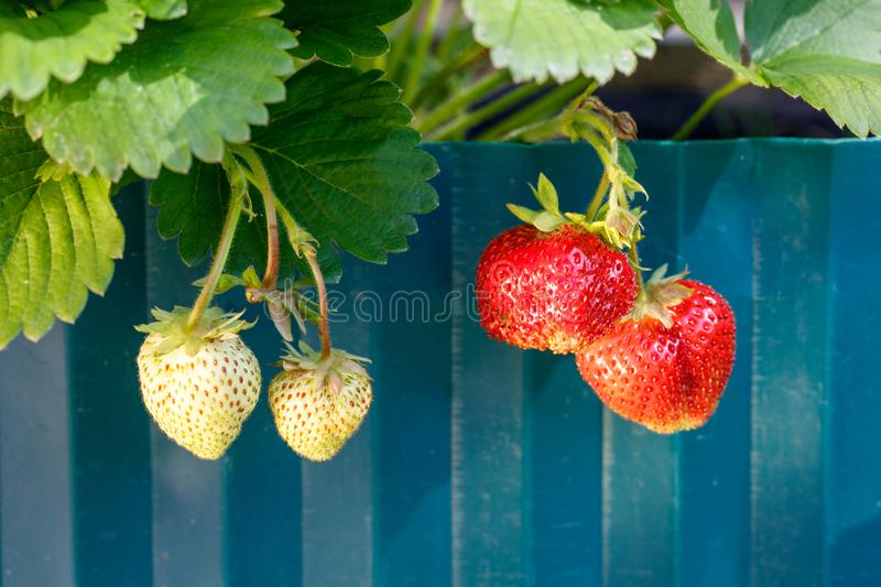 Strawberry bush  with ripe berries in the garden royalty free stock photo