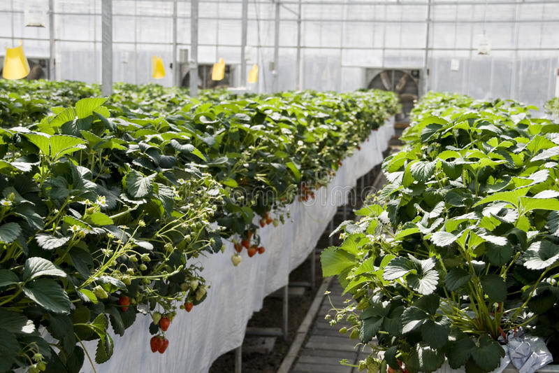 Download Strawberry Cultivation In Greenhouses. Stock Photo - Image: 18960068