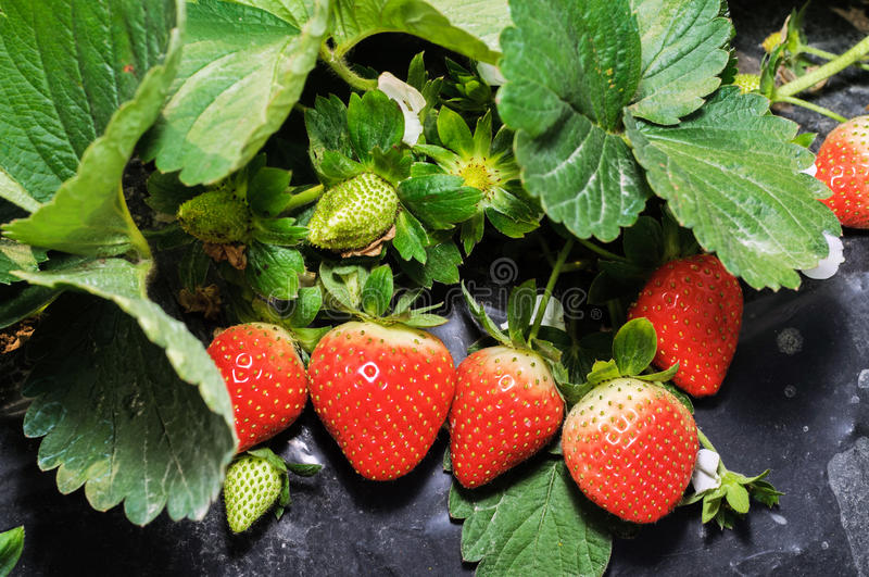 Strawberry cultivation. Strawberries also known as cranberry, ocean raspberries, raspberry and other places, is a red fruit royalty free stock photography