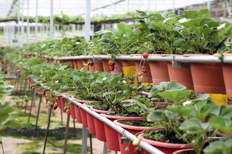 Strawberry Farm 01. Organic strawberry farm at Cameron Highlands, Malaysia royalty free stock photography