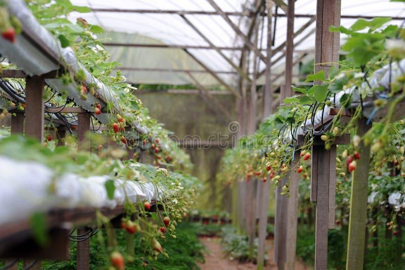 Strawberry farm. Strawberry raw in an indoor strawberry farm stock photography