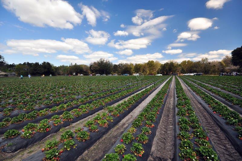 Strawberry Farm. Rows of self-picking strawberry farm in Gainesville, Florida stock photos