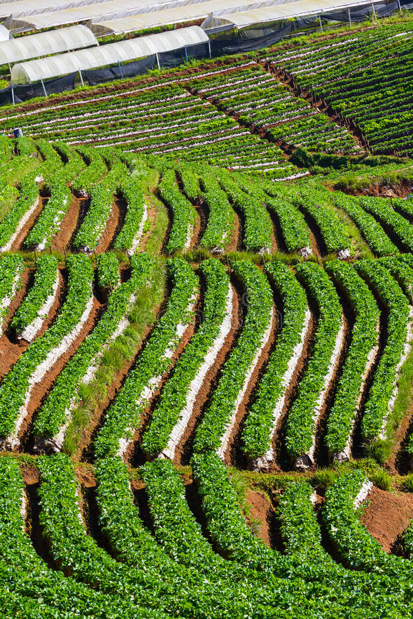 Download Strawberry farm stock photo. Image of hill, plant, pattern - 28917956