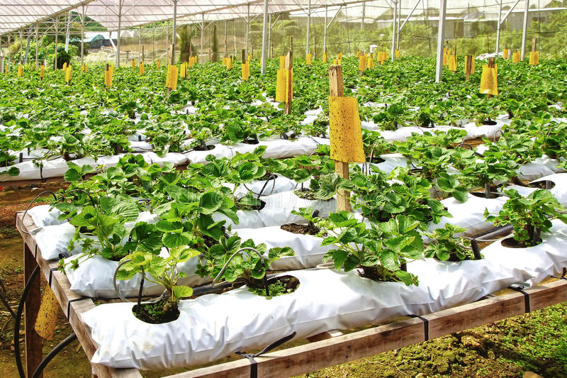 Strawberry farm. Strawberry farm ih Cameron Highlands, Malaysia royalty free stock image
