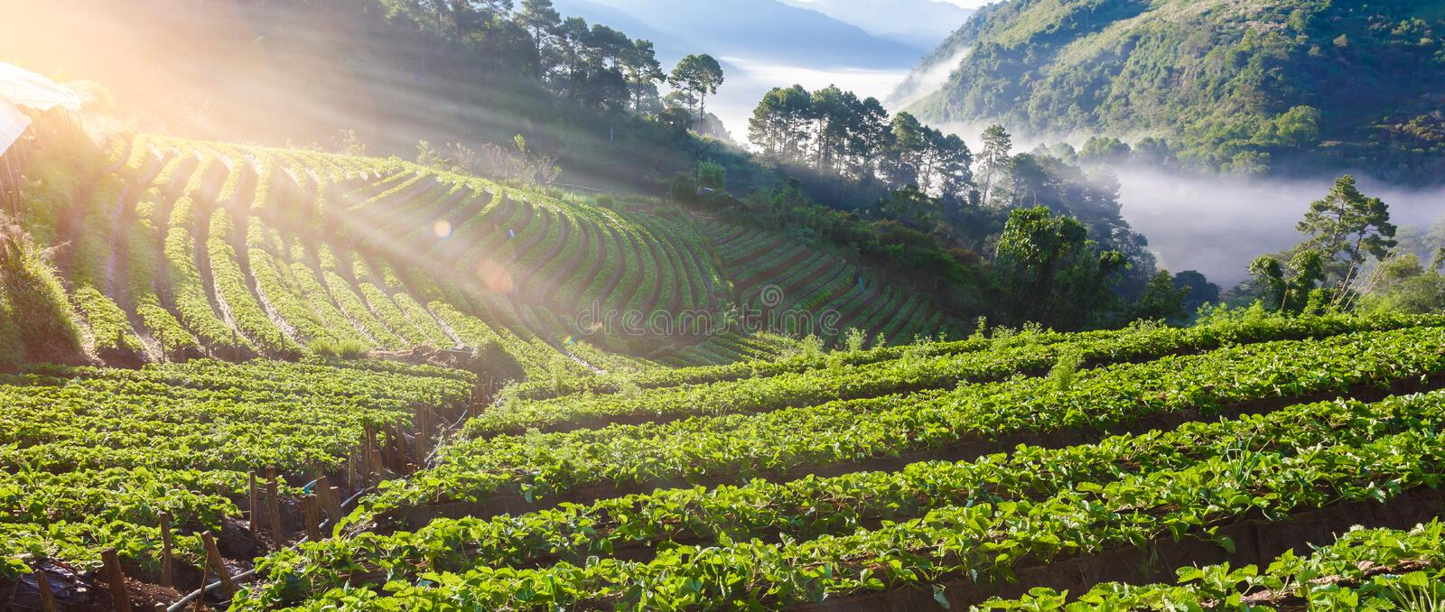 Strawberry farm array layer on hill at doi angkhang mountain, ch royalty free stock photos