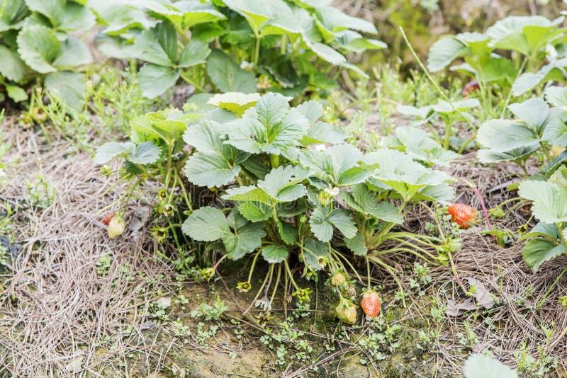 Strawberry in farm, Da Lat city, Lam province, Vietnam. Strawberry bush in vegetable farm near Langbiang moutain, Da Lat city, Lam Dong, Vietnam. Lam Province is royalty free stock photography