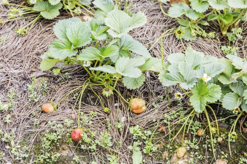 Strawberry in farm, Da Lat city, Lam province, Vietnam. Strawberry bush in vegetable farm near Langbiang moutain, Da Lat city, Lam Dong, Vietnam. Lam Province is stock image