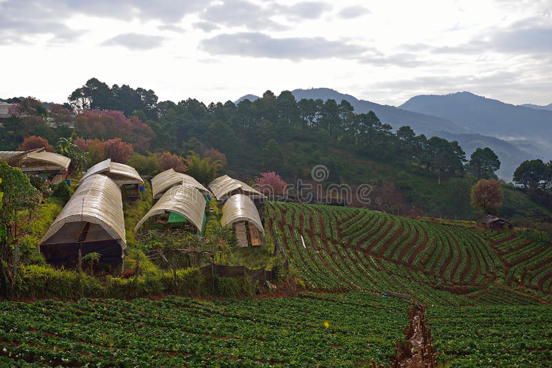 Strawberry farm at Doi angkhang , Chiangmai province. Thailand royalty free stock image