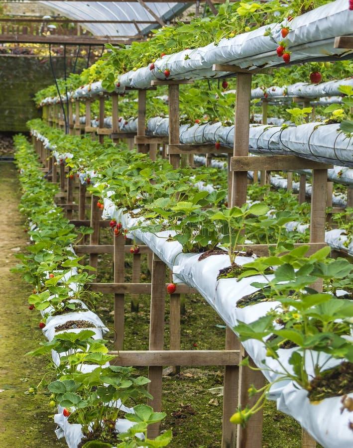 Выращивание клубники круглый год гидропоника 84