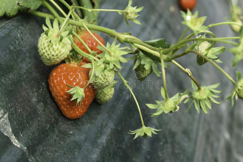Strawberry in farm is growing up. royalty free stock image