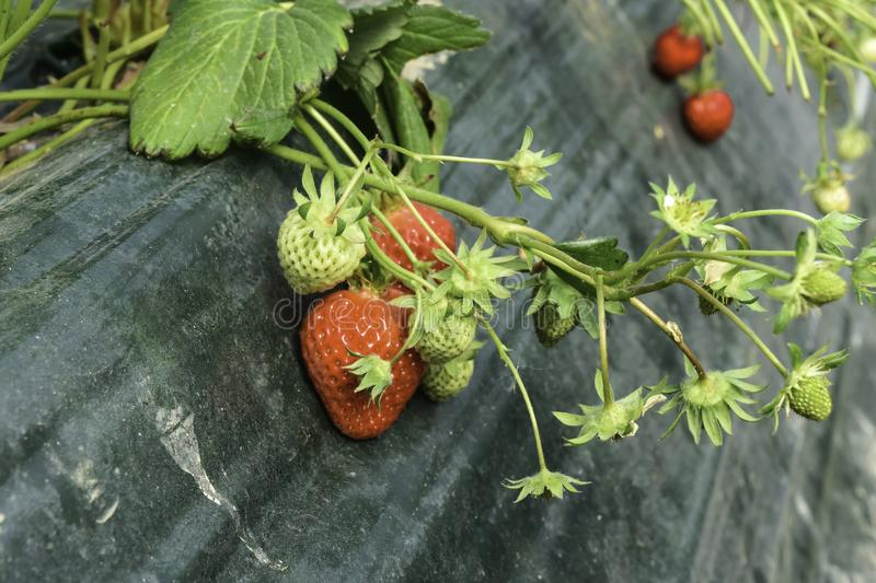 Strawberry in farm is growing up. stock photos