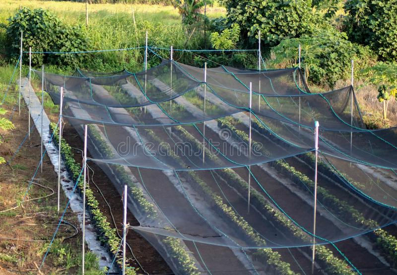 Strawberry farm in the Philippines. Strawberry Farm seedlings covered with black net in Camarines Sur Philippines. Agriculture in the Philippines royalty free stock image