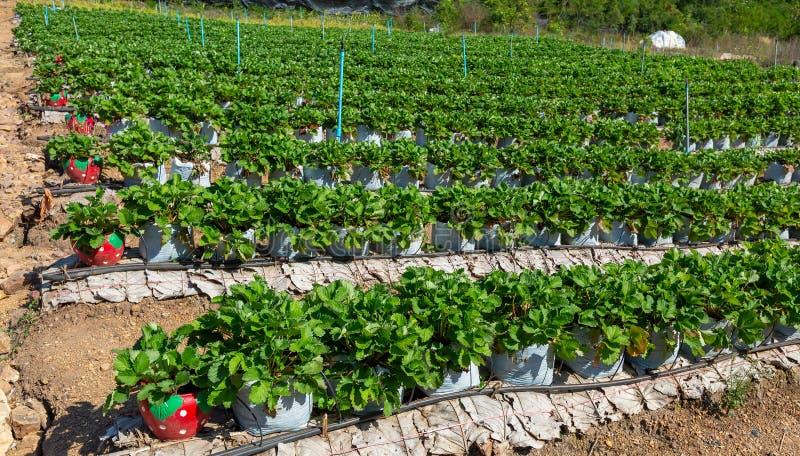 Strawberry farm. Rows of plants on a strawberry farm royalty free stock photos