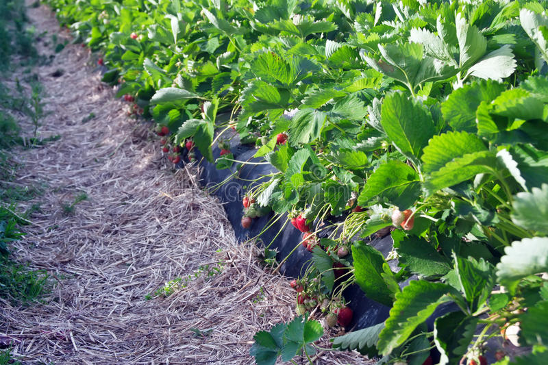 Download Strawberry field stock image. Image of background, strawberry - 19643241
