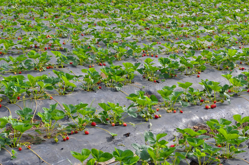 Download Strawberry Field Stock Photo - Image: 22607610