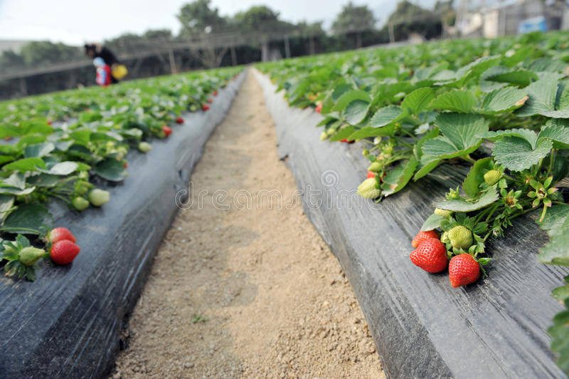Strawberry Field Royalty Free Stock Images