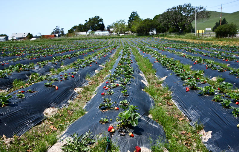 Download Strawberry field stock photo. Image of grows, strawberry - 24782260