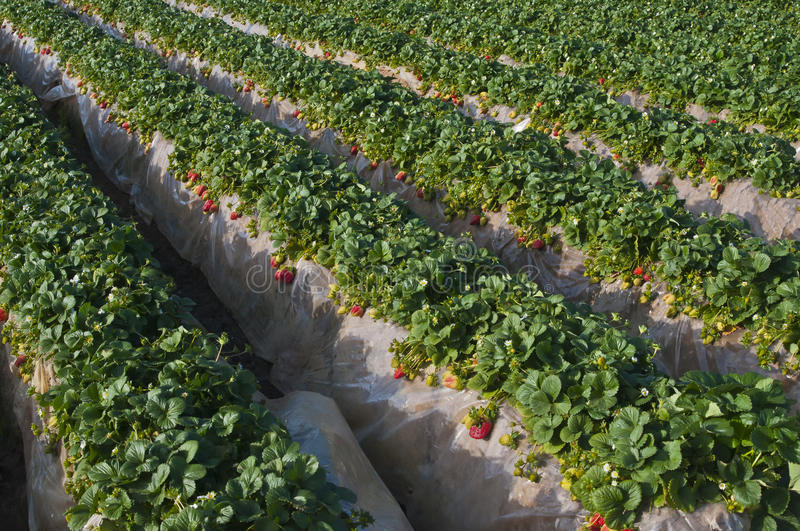 Strawberry Field, Carlsbad California. A field of green leafy plants with red strawberries, in the surburban city of Carlsbad, north of San Diego in southern royalty free stock photography