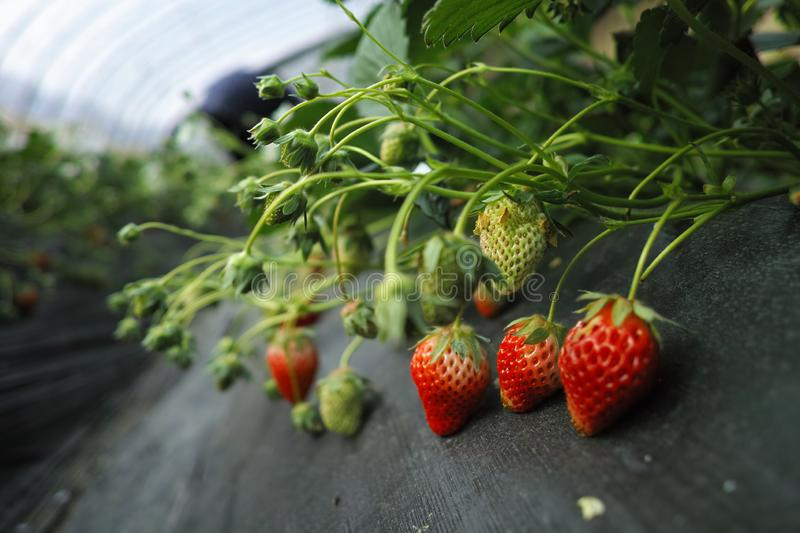 Strawberry in the field, close-up. ,Strawberry and leaves stock photos