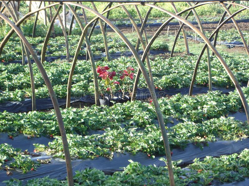 Strawberry Field Closeup in La Trinidad Strawberry Farm Baguio city royalty free stock images