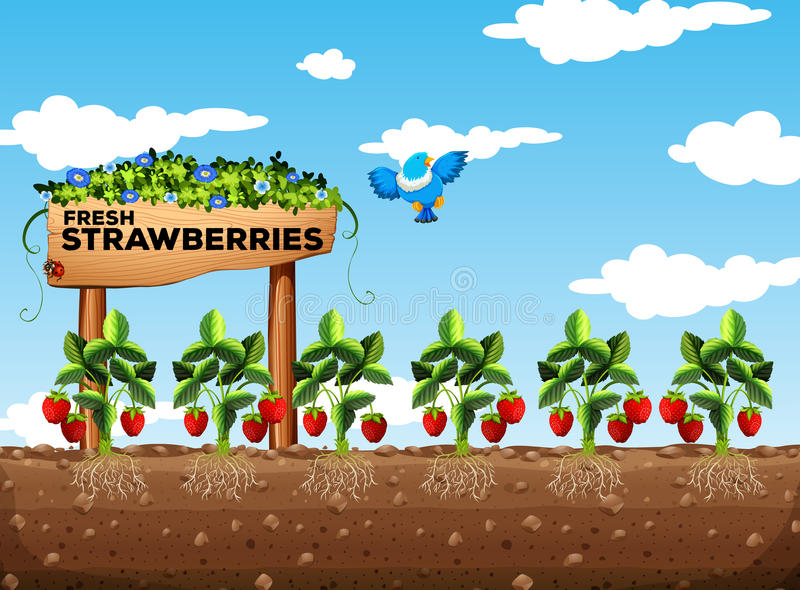 Strawberry field at daytime. Illustration stock illustration