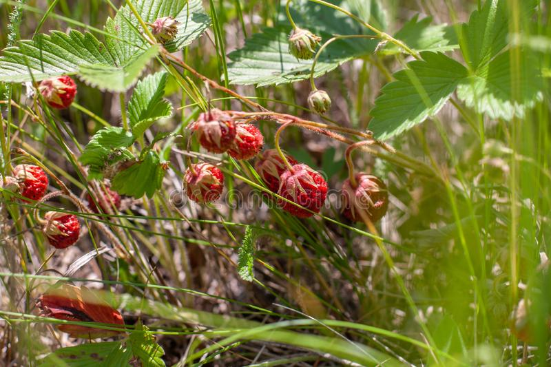 Strawberry field grows among green grass. Selective focus stock images