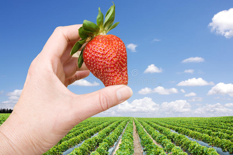 Download Strawberry Field And Hand With Big Berry Stock Image - Image: 16406911