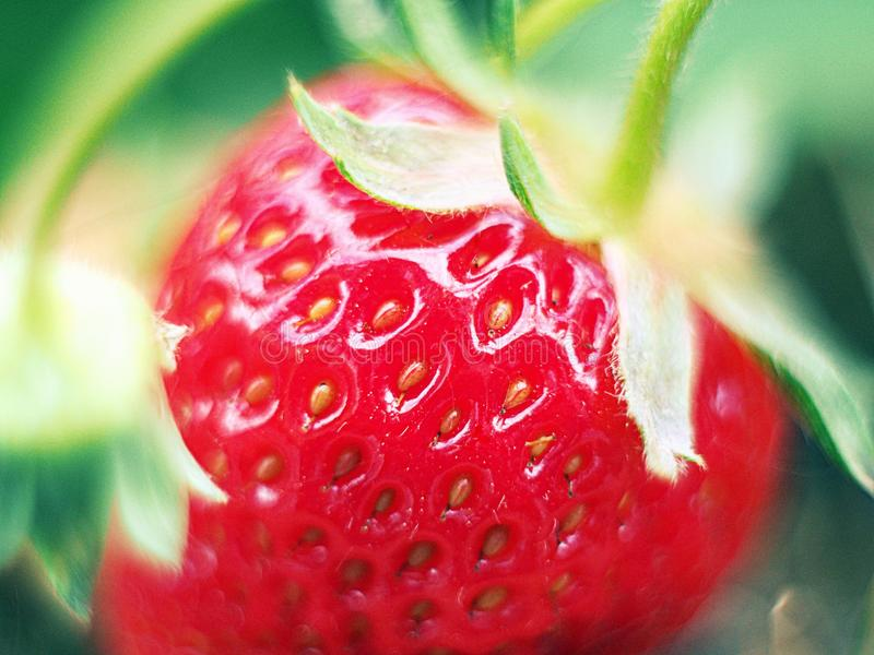 Strawberry in the field stock photo