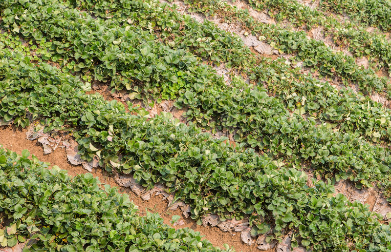 Download Strawberry Field Royalty Free Stock Images - Image: 33403329