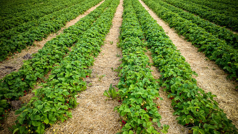 Strawberry field with ripe berries as background royalty free stock image