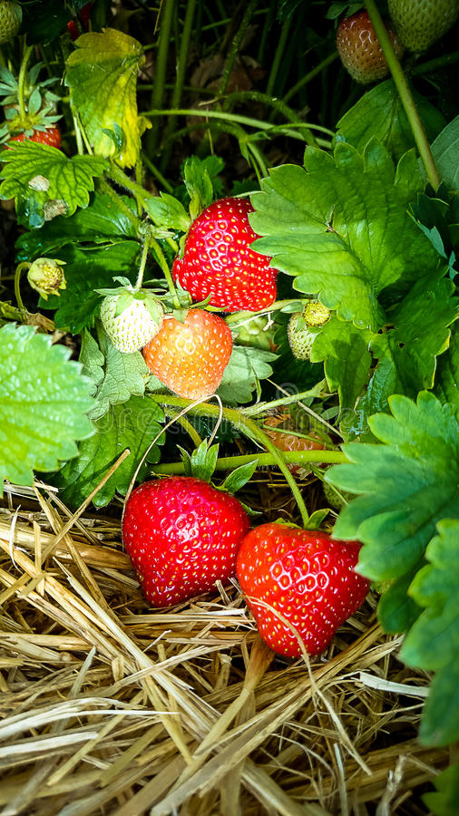 Strawberry Field with Ripe strawberries as background stock photos