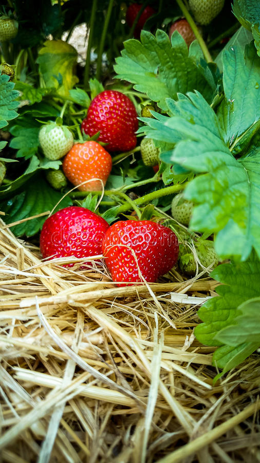 Strawberry Field with Ripe strawberries royalty free stock photography