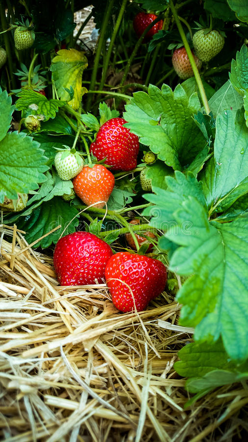 Strawberry Field with Ripe strawberries royalty free stock photos