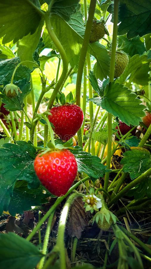 Strawberry Field with Ripe strawberries royalty free stock image