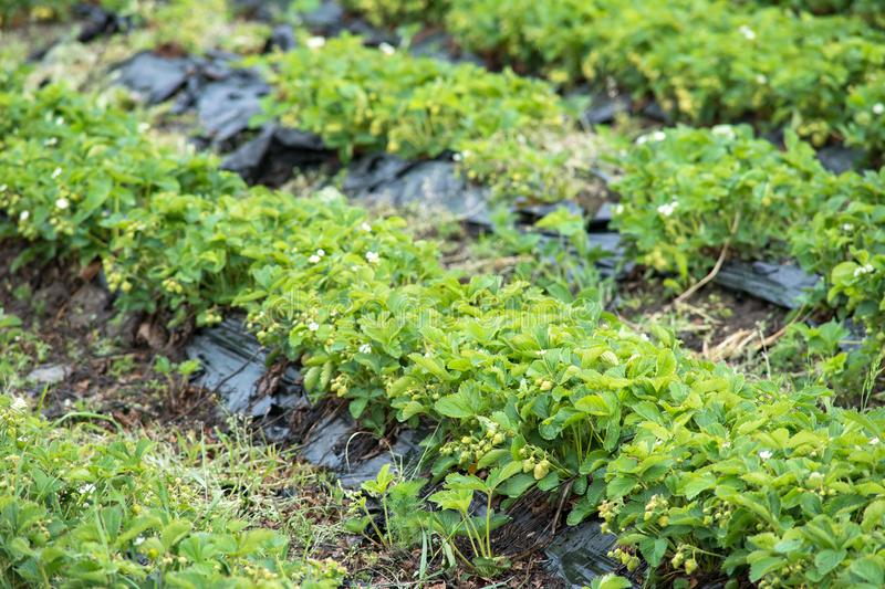 Strawberry Field rows royalty free stock images