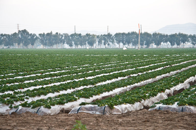 Strawberry Fields royalty-vrije stock fotografie