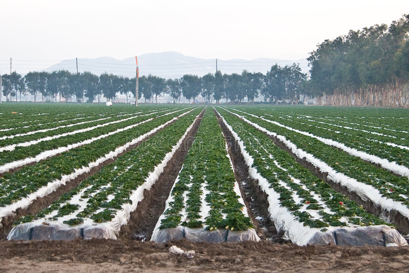 Strawberry Fields lizenzfreie stockbilder
