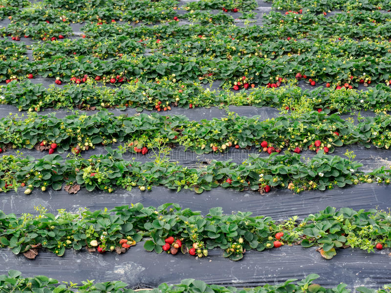 Strawberry Fields stock afbeelding