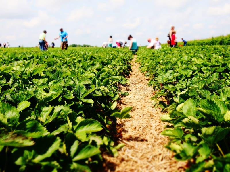 Strawberry Fields stock foto