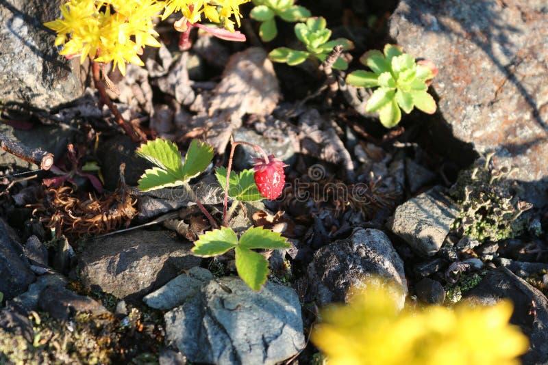 Strawberry Fields imagem de stock