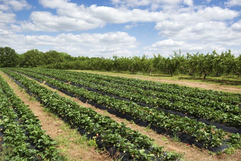 Strawberry Fields imagen de archivo libre de regalías