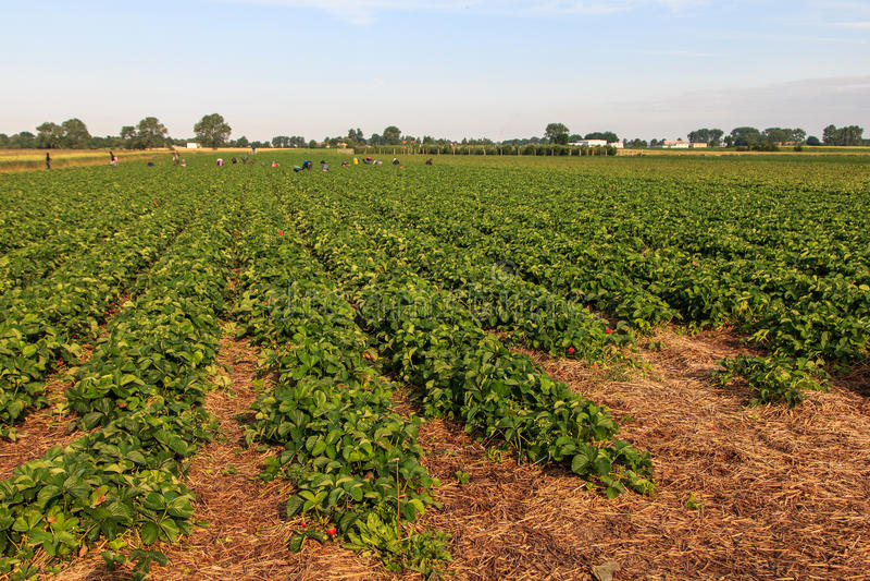 Strawberry Fields stock fotografie