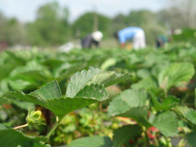 Strawberry Fields für immer lizenzfreies stockbild
