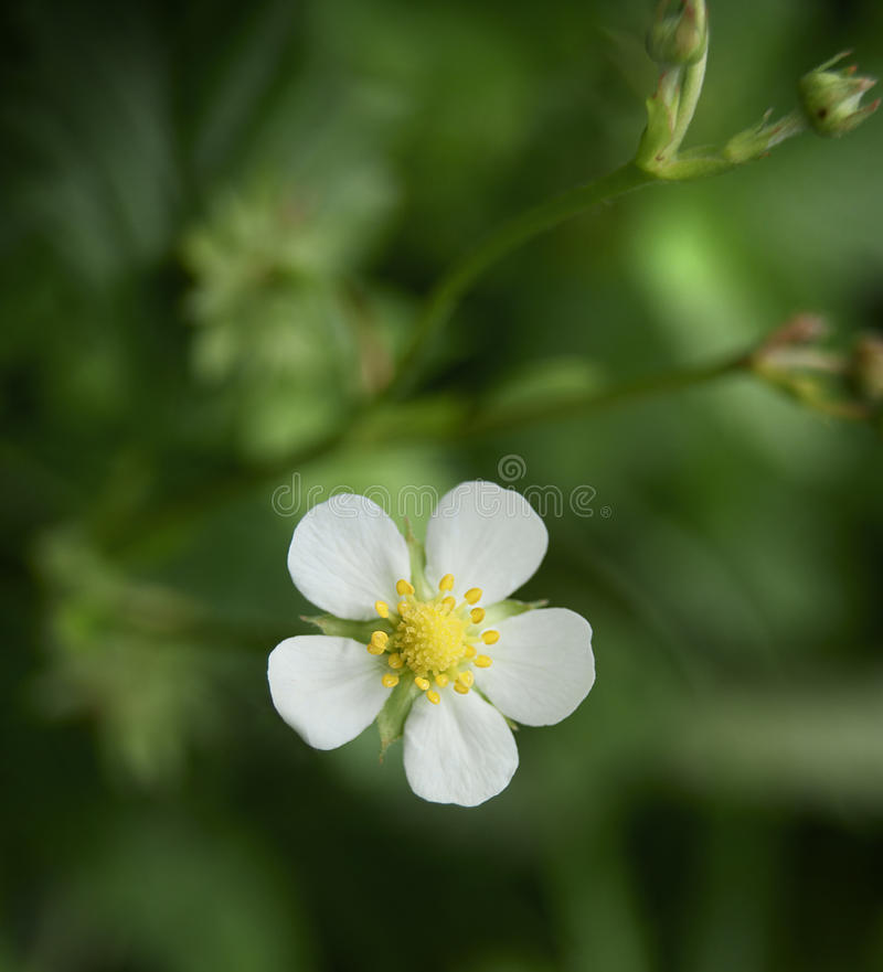 Download Strawberry flower stock image. Image of single, berry - 14608403