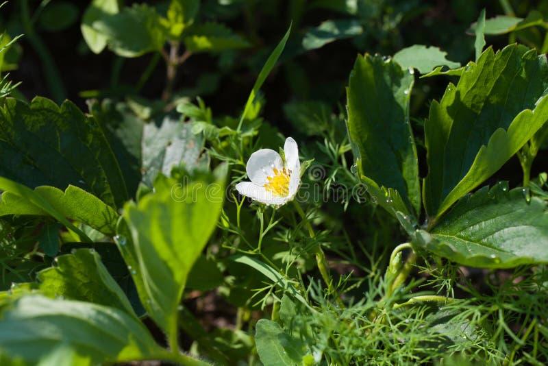 Strawberry flower. Strawberry`s garden. Strawberry flower in Strawberry`s garden royalty free stock images