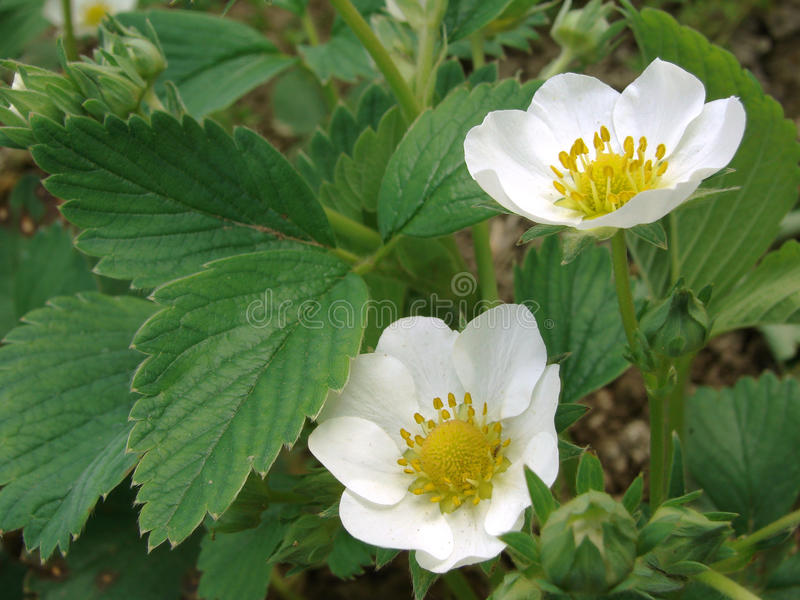 Download Strawberry Flowers Royalty Free Stock Photos - Image: 19952668