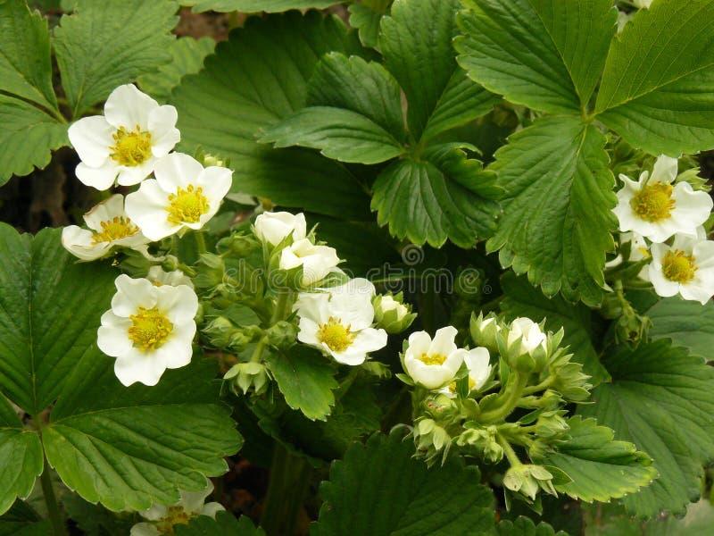 Strawberry Flowers Royalty Free Stock Photo