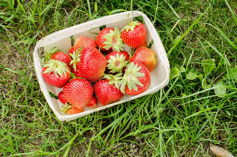 Strawberry. Fresh berries of strawberry on a green grass closeup/Top view. Strawberry in small basket in a garden stock image
