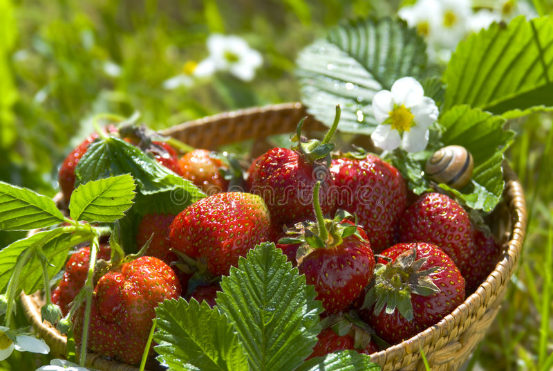 Strawberry from garden royalty free stock images